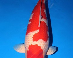 Grand Champion 47th All Japan Koi Show