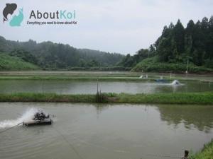 Mudponds van Marusaka Koi Farm