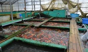 Hirasawa Koi Farm, massa kweker uit Niigata