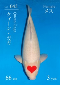 Sakai Tancho Kohaku 45