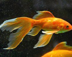 Hoe lang kunnen goudvissen zonder eten?