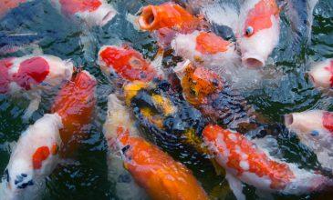 Melkzuurbacteriën voor in de Koi vijver: soorten en advies
