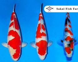 Sakai Fish Farm Koi veiling 19 december 2019