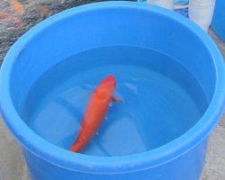 Koi een zoutbad geven: behandeling Koi ziektes met zout