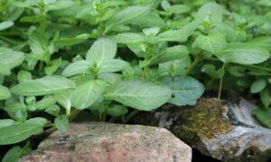 Beste waterplanten voor een plantenfilter